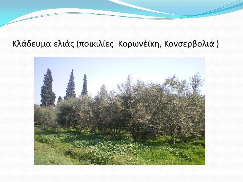 Κλάδευμα ελιάς (ποικιλίες Κορωνέϊκη, Κονσερβολιά )