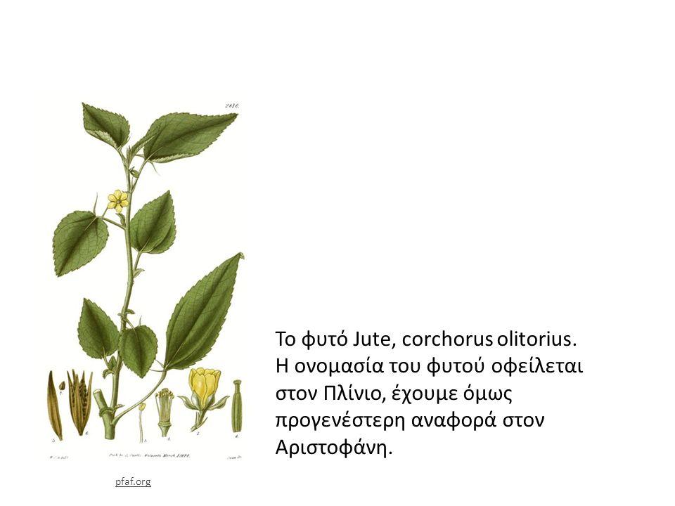 Το φυτό Jute, corchorus olitorius.