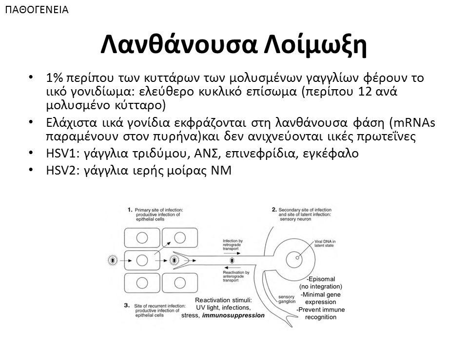 Λανθάνουσα Λοίμωξη 1% περίπου των κυττάρων των μολυσμένων γαγγλίων φέρουν το ιικό γονιδίωμα: ελεύθερο κυκλικό επίσωμα (περίπου 12 ανά μολυσμένο κύτταρο) Ελάχιστα ιικά γονίδια εκφράζονται στη λανθάνουσα φάση (mRNAs παραμένουν στον πυρήνα)και δεν ανιχνεύονται ιικές πρωτεΐνες HSV1: γάγγλια τριδύμου, ΑΝΣ, επινεφρίδια, εγκέφαλο HSV2: γάγγλια ιερής μοίρας ΝΜ ΠΑΘΟΓΕΝΕΙΑ
