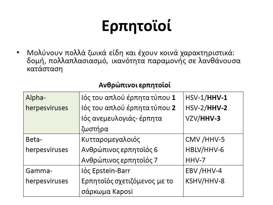 Ερπητοϊοί Μολύνουν πολλά ζωικά είδη και έχουν κοινά χαρακτηριστικά: δομή, πολλαπλασιασμό, ικανότητα παραμονής σε λανθάνουσα κατάσταση Alpha- herpesviruses Ιός του απλού έρπητα τύπου 1 Ιός του απλού έρπητα τύπου 2 Ιός ανεμευλογιάς- έρπητα ζωστήρα HSV-1/HHV-1 HSV-2/HHV-2 VZV/HHV-3 Beta- herpesviruses Κυτταρομεγαλοιός Ανθρώπινος ερπητοϊός 6 Ανθρώπινος ερπητοϊός 7 CMV /HHV-5 HBLV/HHV-6 HHV-7 Gamma- herpesviruses Ιός Epstein-Barr Ερπητοϊός σχετιζόμενος με το σάρκωμα Kaposi EBV /HHV-4 KSHV/HHV-8 Ανθρώπινοι ερπητοϊοί