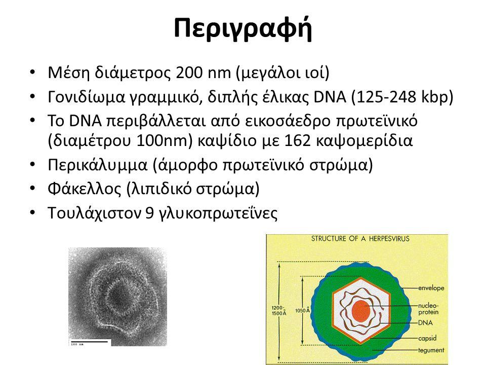 Περιγραφή Μέση διάμετρος 200 nm (μεγάλοι ιοί) Γονιδίωμα γραμμικό, διπλής έλικας DNA (125-248 kbp) Το DNA περιβάλλεται από εικοσάεδρο πρωτεϊνικό (διαμέτρου 100nm) καψίδιο με 162 καψομερίδια Περικάλυμμα (άμορφο πρωτεϊνικό στρώμα) Φάκελλος (λιπιδικό στρώμα) Tουλάχιστον 9 γλυκοπρωτεΐνες