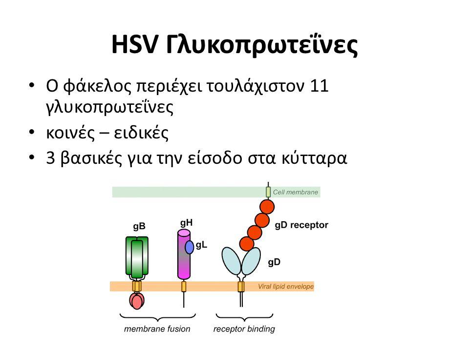 HSV Γλυκοπρωτεΐνες Ο φάκελος περιέχει τουλάχιστον 11 γλυκοπρωτεΐνες κοινές – ειδικές 3 βασικές για την είσοδο στα κύτταρα