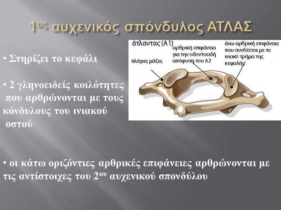 Στηρίζει το κεφάλι 2 γληνοειδείς κοιλότητες που αρθρώνονται με τους κόνδυλους του ινιακού οστού οι κάτω οριζόντιες αρθρικές επιφάνειες αρθρώνονται με