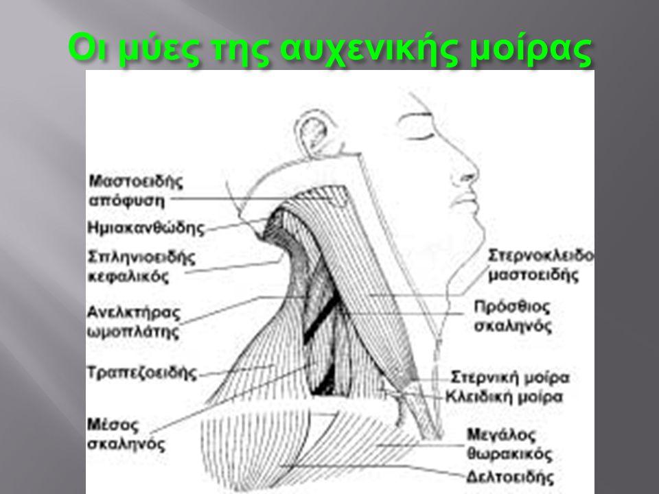 Οι μύες της αυχενικής μοίρας
