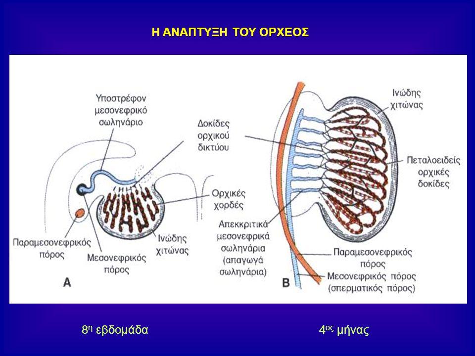 Τα διάμεσα κύτταρα του Leydig προέρχονται από το αρχικό μεσέγχυμα του γεννητικού κρημνού.
