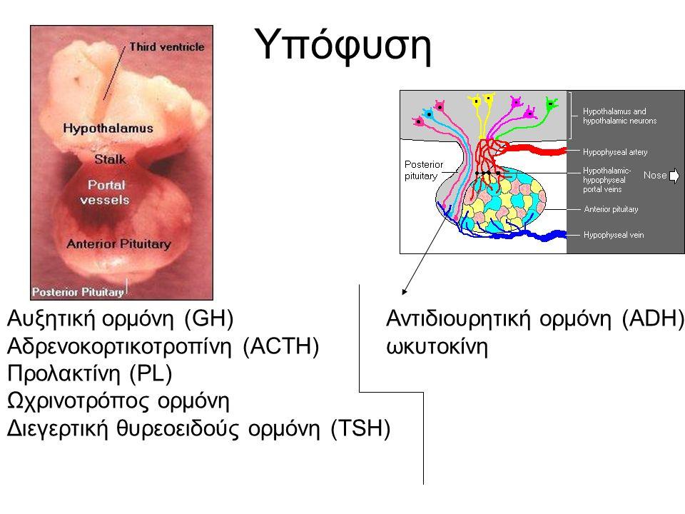 Υπόφυση Αυξητική ορμόνη (GH) Αδρενοκορτικοτροπίνη (ACTH) Προλακτίνη (PL) Ωχρινοτρόπος ορμόνη Διεγερτική θυρεοειδούς ορμόνη (ΤSH) Αντιδιουρητική ορμόνη (ADH) ωκυτοκίνη