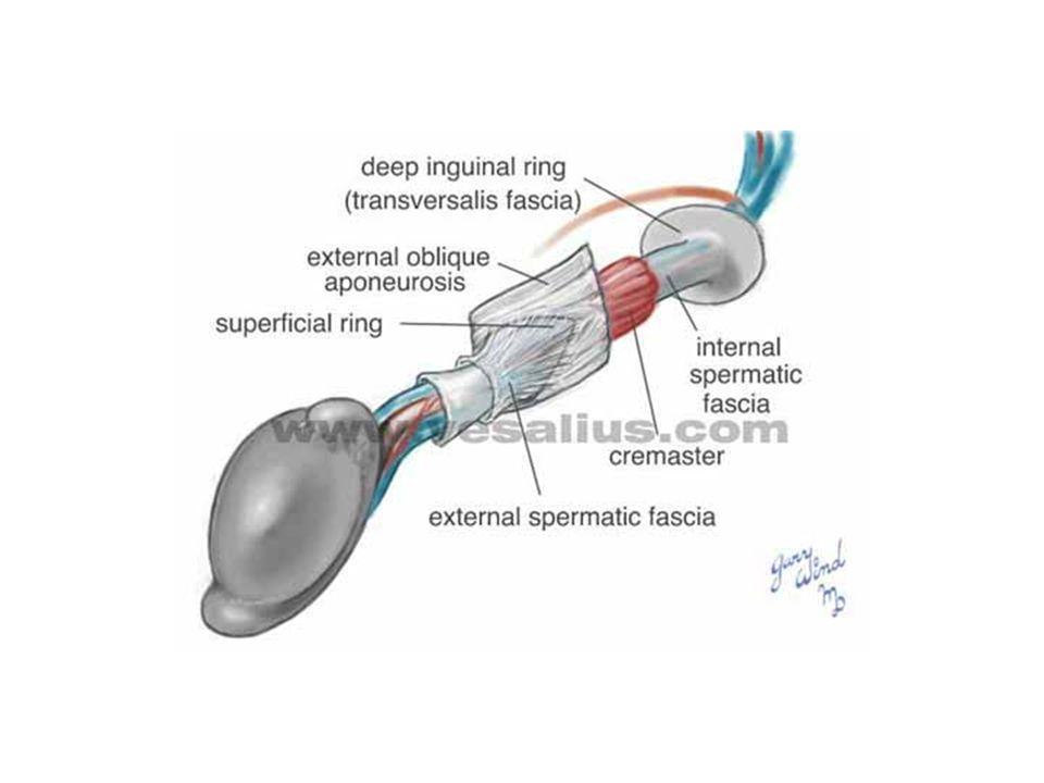 Παραθορμόνη (PTH) Νεφρά – γαστρεντερικό σύστημα - οστά Ομοιόσταση ασβεστίου στο αίμα Βιταμίνη D καλσιτονίνη