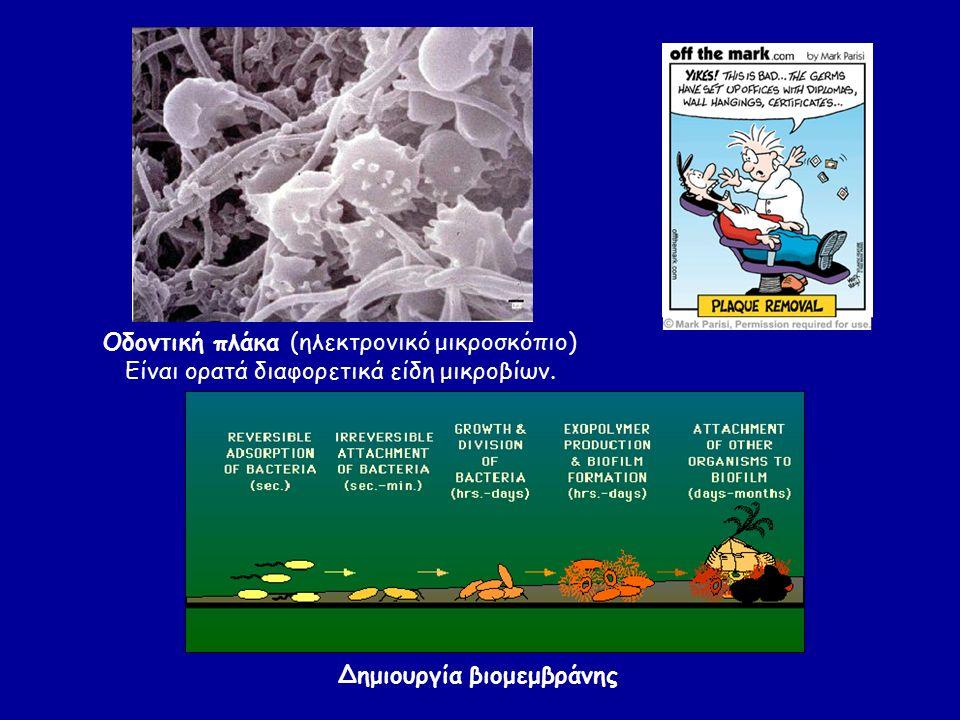 Οδοντική πλάκα (ηλεκτρονικό μικροσκόπιο) Είναι ορατά διαφορετικά είδη μικροβίων. Δημιουργία βιομεμβράνης