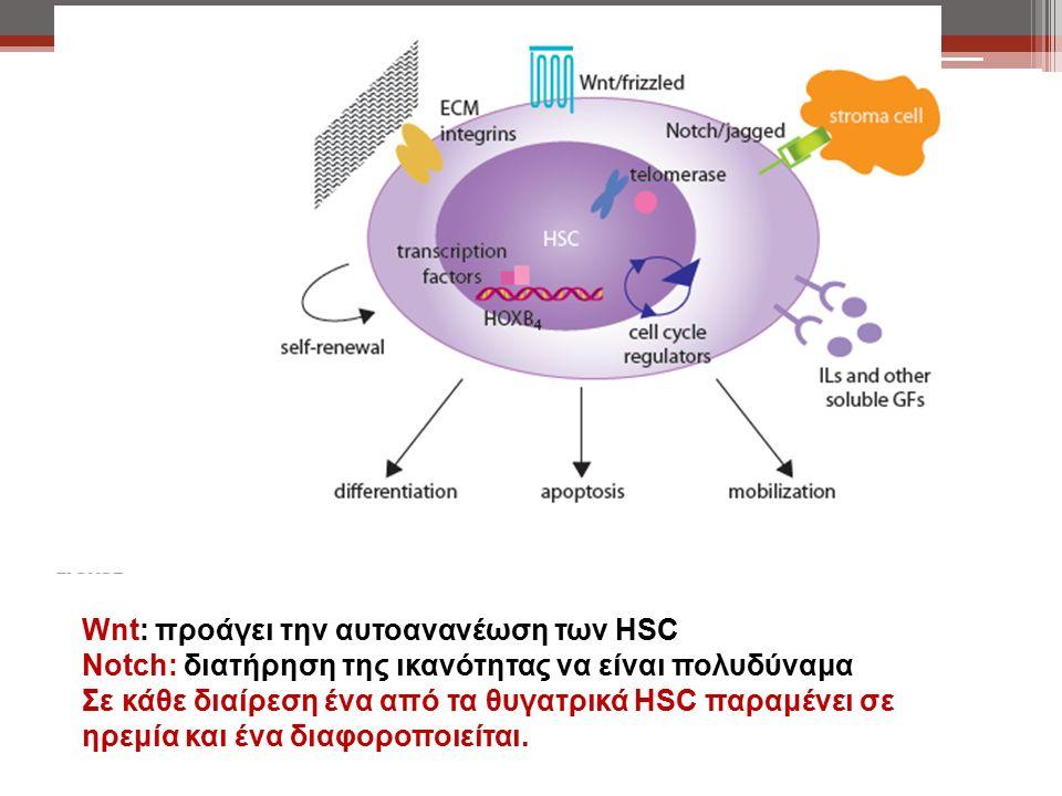 Wnt: προάγει την αυτοανανέωση των HSC Notch: διατήρηση της ικανότητας να είναι πολυδύναμα Σε κάθε διαίρεση ένα από τα θυγατρικά HSC παραμένει σε ηρεμία και ένα διαφοροποιείται.
