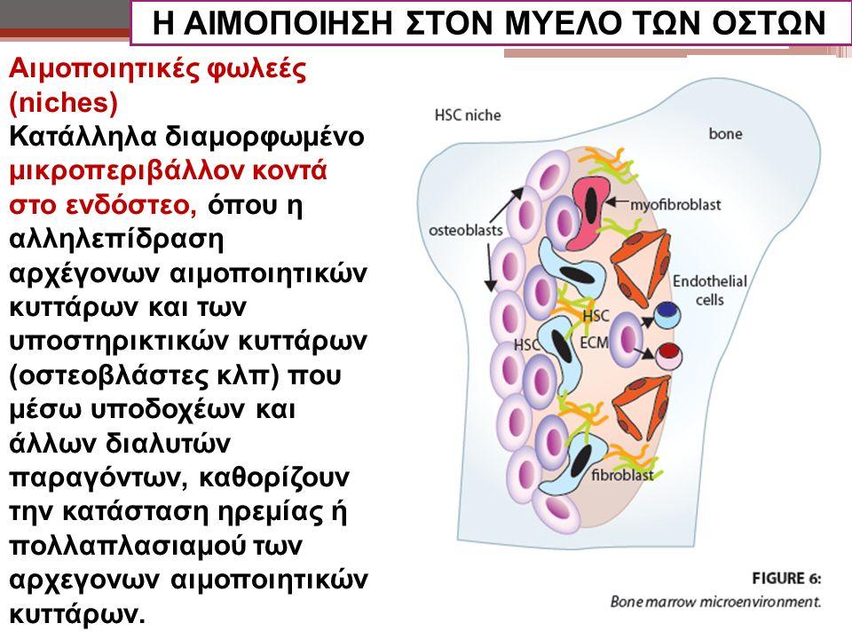 Αιμοποιητικές φωλεές (niches) Κατάλληλα διαμορφωμένο μικροπεριβάλλον κοντά στο ενδόστεο, όπου η αλληλεπίδραση αρχέγονων αιμοποιητικών κυττάρων και των υποστηρικτικών κυττάρων (οστεοβλάστες κλπ) που μέσω υποδοχέων και άλλων διαλυτών παραγόντων, καθορίζουν την κατάσταση ηρεμίας ή πολλαπλασιαμού των αρχεγονων αιμοποιητικών κυττάρων.