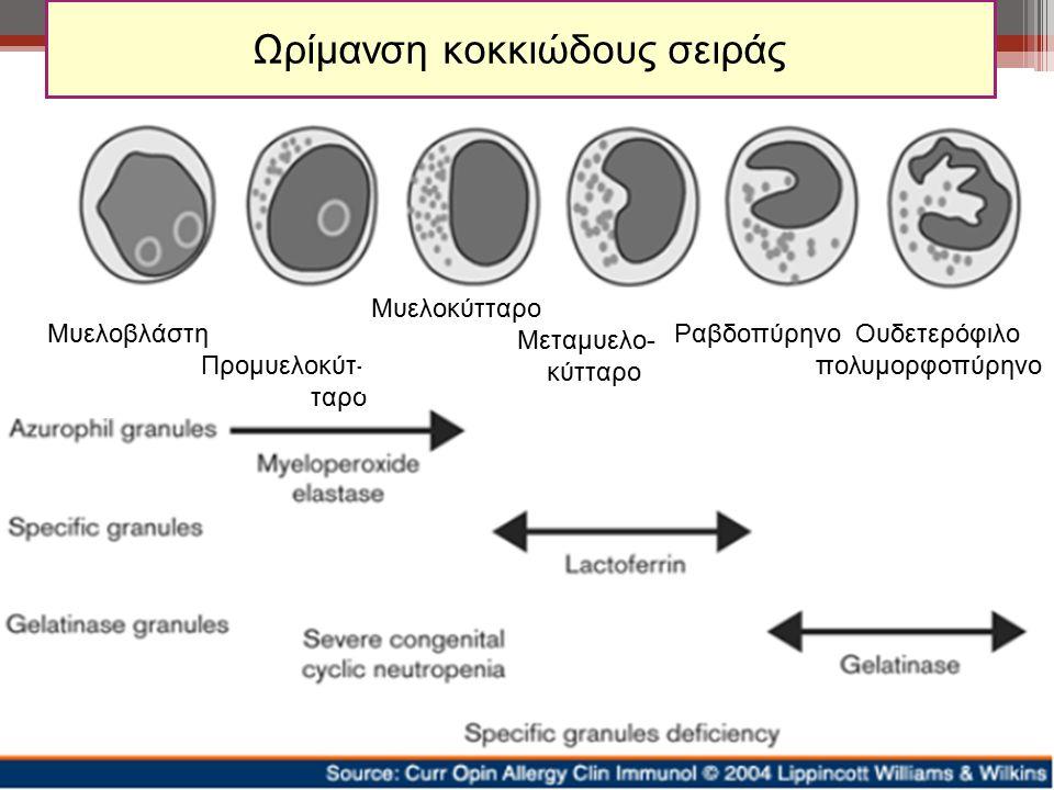 Ωρίμανση κοκκιώδους σειράς Μυελοβλάστη Προμυελοκύτ- ταρο Μυελοκύτταρο Μεταμυελο- κύτταρο Ραβδοπύρηνο Ουδετερόφιλο πολυμορφοπύρηνο