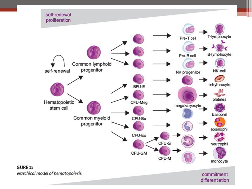 Υψηλή τάση Ο2: ωθεί τα κύτταρα προς ωρίμανση-διαφοροποίηση