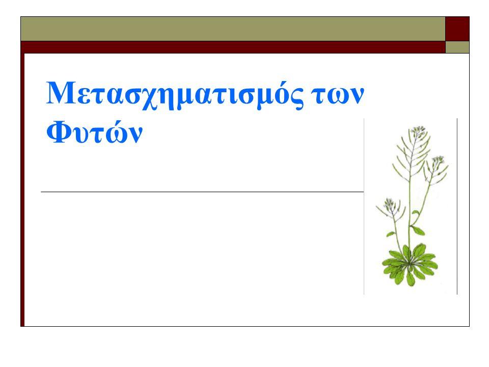  Τα φυτά αναπτύσσονται σε τρυβλία με θρεπτικό μέσο επιλογής (SPM) παρουσία αντιβιοτικού και παράγοντα που δεν επιτρέπει την ανάπτυξη του Agrobacterium (σεφοταξίμη)  Επώαση των τρυβλίων για δύο εβδομάδες  Μεταφορά των μετασχηματισμένων φυτών στο έδαφος Επιλογή μετασχηματισμένων φυτών Βήματα του μετασχηματισμού φυτών Arabidopsis thaliana με τη μέθοδο εμβάπτισης ανθέων (Floral dip)