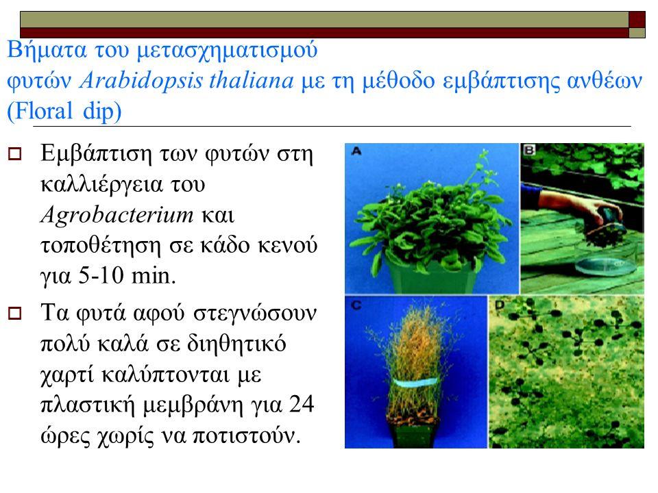  Εμβάπτιση των φυτών στη καλλιέργεια του Agrobacterium και τοποθέτηση σε κάδο κενού για 5-10 min.