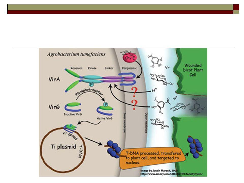 Πως είναι να μετατραπεί το Τi πλασμίδιο σε ένα χρήσιμο εργαλείο μετασχηματισμού των φυτών;  Απαλοιφή των γονιδίων που εμπλέκονται στη βιοσύνθεση της αυξίνης και της κυτοκινίνης  Απομόνωση των vir γονιδίων και του αριστερού και δεξιού συνοριακού (LB, RB)  Μείωση του μεγέθους του Ti πλασμιδίου (είναι τεράστιο ~200Kb)