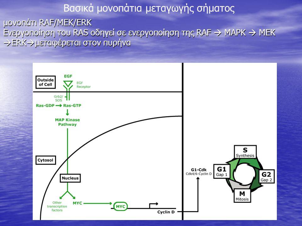 μονοπάτι RAF/MEK/ERK Ενεργοποίηση του RAS οδηγεί σε ενεργοποίηση της RAF  MAPK  MEK  ERK  μεταφέρεται στον πυρήνα Βασικά μονοπάτια μεταγωγής σήματ