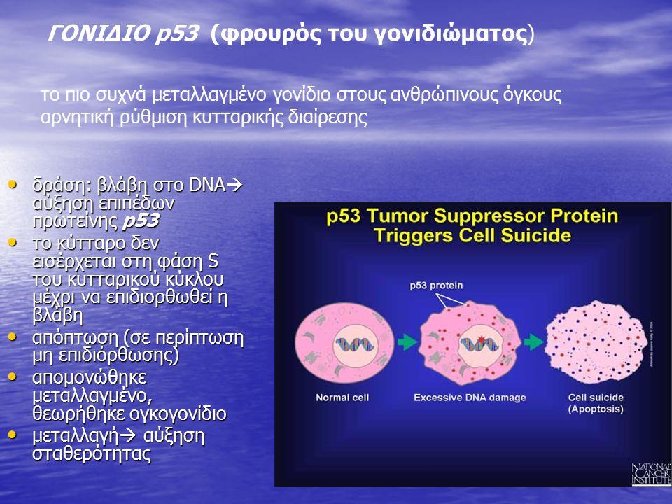 ΓΟΝΙΔΙΟ p53 (φρουρός του γονιδιώματος) δράση: βλάβη στο DΝΑ  αύξηση επιπέδων πρωτείνης p53 δράση: βλάβη στο DΝΑ  αύξηση επιπέδων πρωτείνης p53 το κύτταρο δεν εισέρχεται στη φάση S του κυτταρικού κύκλου μέχρι να επιδιορθωθεί η βλάβη το κύτταρο δεν εισέρχεται στη φάση S του κυτταρικού κύκλου μέχρι να επιδιορθωθεί η βλάβη απόπτωση (σε περίπτωση μη επιδιόρθωσης) απόπτωση (σε περίπτωση μη επιδιόρθωσης) απομονώθηκε μεταλλαγμένο, θεωρήθηκε ογκογονίδιο απομονώθηκε μεταλλαγμένο, θεωρήθηκε ογκογονίδιο μεταλλαγή  αύξηση σταθερότητας μεταλλαγή  αύξηση σταθερότητας το πιο συχνά μεταλλαγμένο γονίδιο στους ανθρώπινους όγκους αρνητική ρύθμιση κυτταρικής διαίρεσης