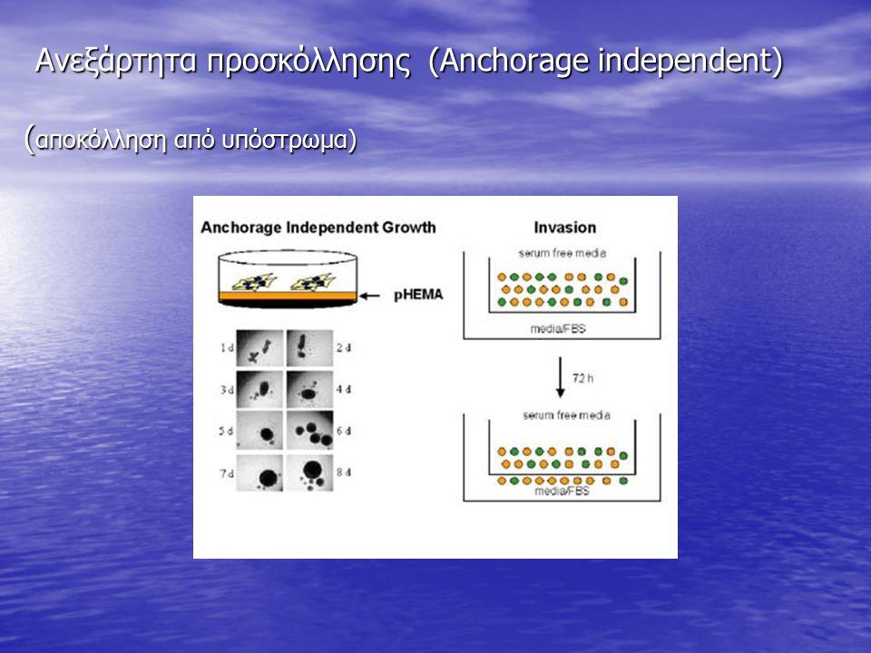 Ανεξάρτητα προσκόλλησης (Anchorage independent) ( αποκόλληση από υπόστρωμα) Ανεξάρτητα προσκόλλησης (Anchorage independent) ( αποκόλληση από υπόστρωμα)