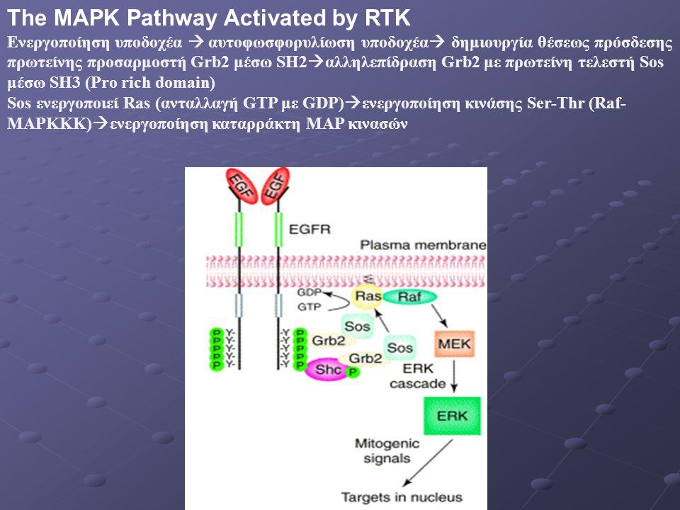 The MAPK Pathway Activated by RTK Ενεργοποίηση υποδοχέα  αυτοφωσφορυλίωση υποδοχέα  δημιουργία θέσεως πρόσδεσης πρωτείνης προσαρμοστή Grb2 μέσω SH2  αλληλεπίδραση Grb2 με πρωτείνη τελεστή Sos μέσω SH3 (Pro rich domain) Sos ενεργοποιεί Ras (ανταλλαγή GTP με GDP)  ενεργοποίηση κινάσης Ser-Thr (Raf- MAPKKK)  ενεργοποίηση καταρράκτη MAP κινασών
