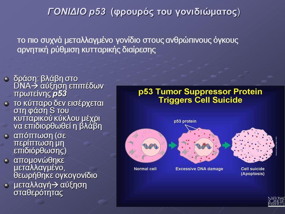 ΓΟΝΙΔΙΟ p53 (φρουρός του γονιδιώματος) δράση: βλάβη στο DΝΑ  αύξηση επιπέδων πρωτείνης p53 το κύτταρο δεν εισέρχεται στη φάση S του κυτταρικού κύκλου μέχρι να επιδιορθωθεί η βλάβη απόπτωση (σε περίπτωση μη επιδιόρθωσης) απομονώθηκε μεταλλαγμένο, θεωρήθηκε ογκογονίδιο μεταλλαγή  αύξηση σταθερότητας το πιο συχνά μεταλλαγμένο γονίδιο στους ανθρώπινους όγκους αρνητική ρύθμιση κυτταρικής διαίρεσης