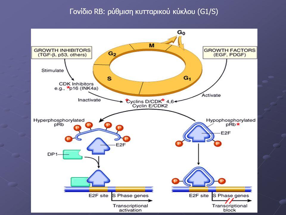 Γονίδιο RB: ρύθμιση κυτταρικού κύκλου (G1/S)