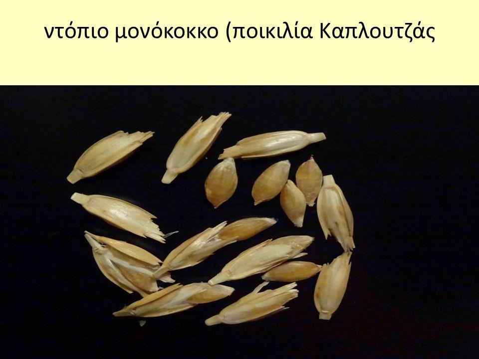 ντόπιο μονόκοκκο (ποικιλία Καπλουτζάς