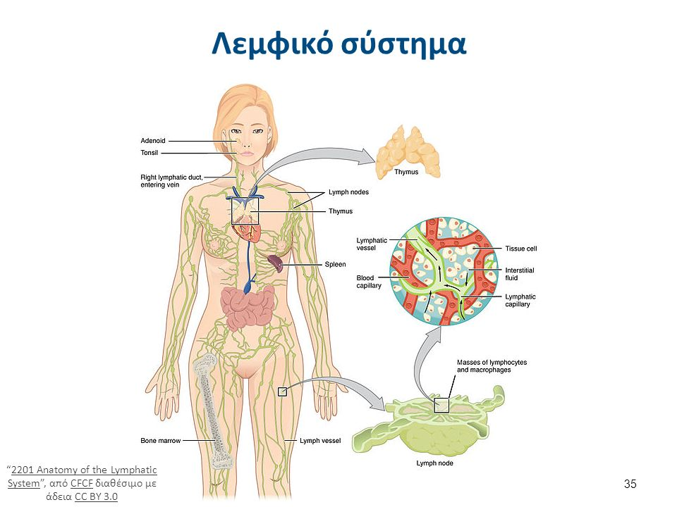 Λεμφικό σύστημα 35 2201 Anatomy of the Lymphatic System , από CFCF διαθέσιμο με άδεια CC BY 3.02201 Anatomy of the Lymphatic SystemCFCFCC BY 3.0
