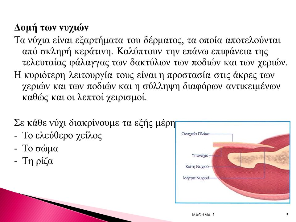 5 Δομή των νυχιών Τα νύχια είναι εξαρτήματα του δέρματος, τα οποία αποτελούνται από σκληρή κεράτινη.