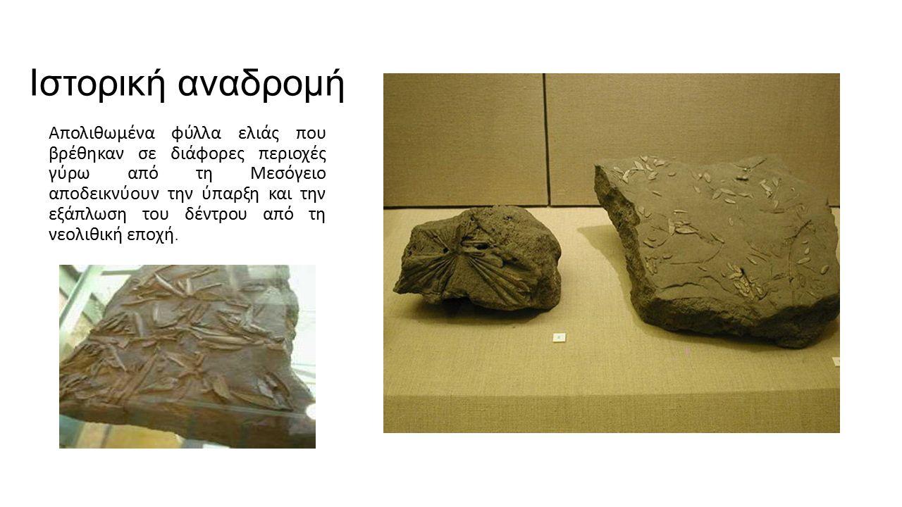 Ιστορική αναδρομή Απολιθωμένα φύλλα ελιάς που βρέθηκαν σε διάφορες περιοχές γύρω από τη Μεσόγειο αποδεικνύουν την ύπαρξη και την εξάπλωση του δέντρου