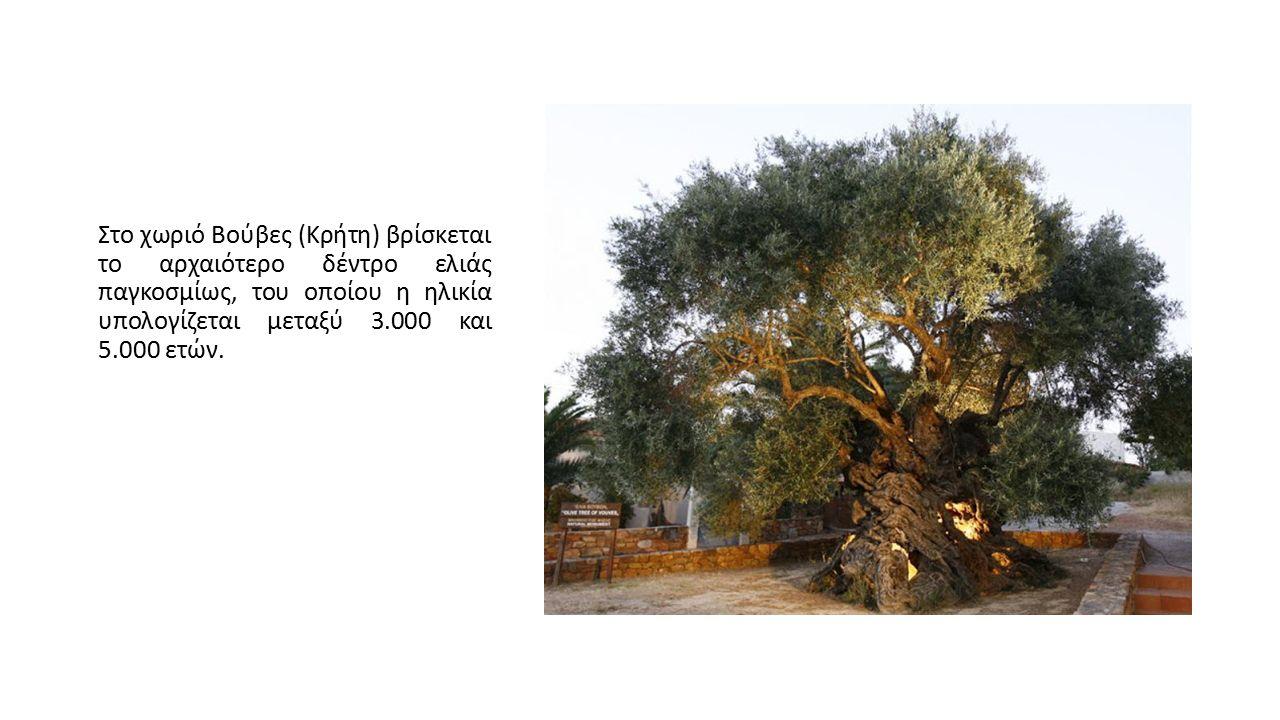 Στο χωριό Βούβες (Κρήτη) βρίσκεται το αρχαιότερο δέντρο ελιάς παγκοσμίως, του οποίου η ηλικία υπολογίζεται μεταξύ 3.000 και 5.000 ετών.