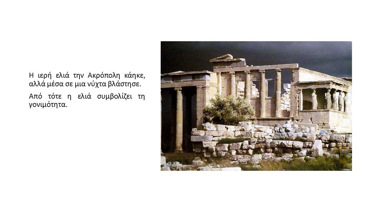 Η ιερή ελιά την Ακρόπολη κάηκε, αλλά μέσα σε μια νύχτα βλάστησε. Από τότε η ελιά συμβολίζει τη γονιμότητα.