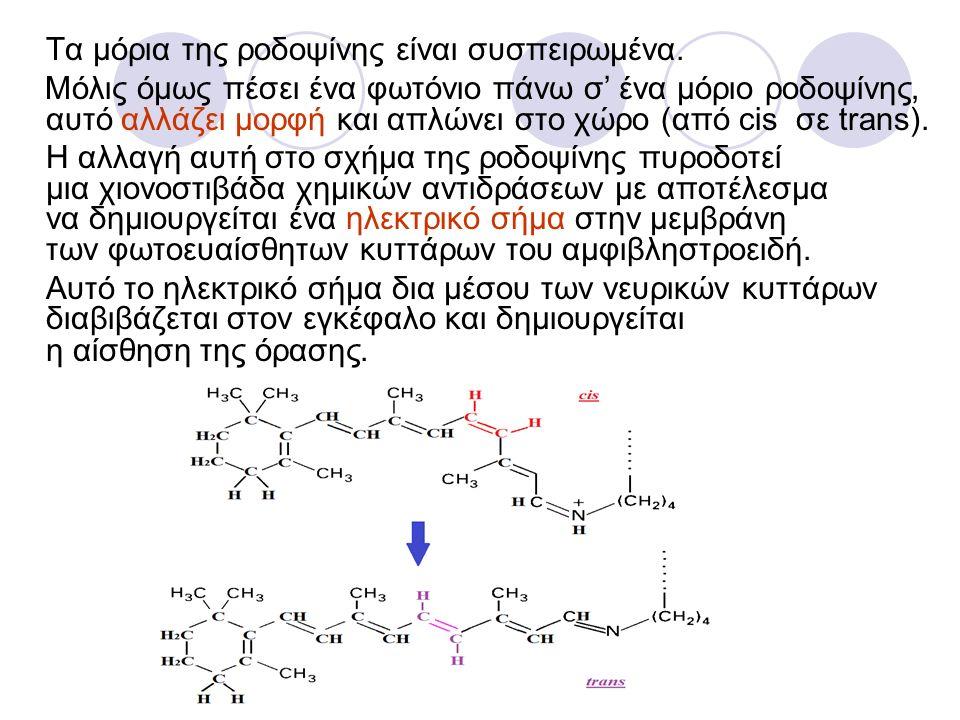 Τα μόρια της ροδοψίνης είναι συσπειρωμένα. Μόλις όμως πέσει ένα φωτόνιο πάνω σ' ένα μόριο ροδοψίνης, αυτό αλλάζει μορφή και απλώνει στο χώρο (από cis