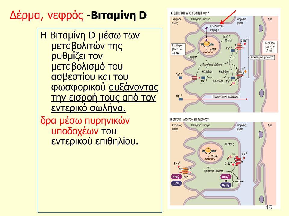 Δέρμα, νεφρός - Βιταμίνη D Η Βιταμίνη D μέσω των μεταβολιτών της ρυθμίζει τον μεταβολισμό του ασβεστίου και του φωσφορικού αυξάνοντας την εισροή τους από τον εντερικό σωλήνα.