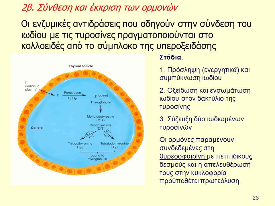 2β. Σύνθεση και έκκριση των ορμονών Οι ενζυμικές αντιδράσεις που οδηγούν στην σύνδεση του ιωδίου με τις τυροσίνες πραγματοποιούνται στο κολλοειδές από