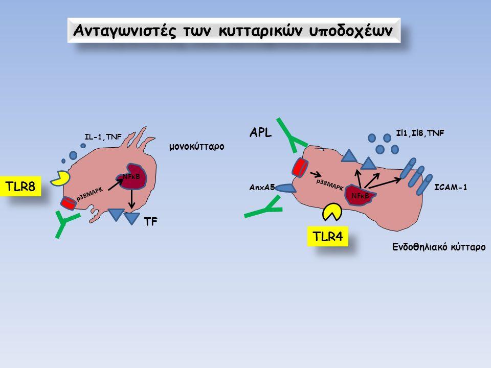 Ανταγωνιστές των κυτταρικών υποδοχέων NFκΒ p38MAPK ΤFΤF μονοκύτταρο ΙL-1,TNF NFκB AnxA5 p38MAPK Il1,Il8,TNF ICAM-1 Eνδοθηλιακό κύτταρο ΑPL TLR4 TLR8
