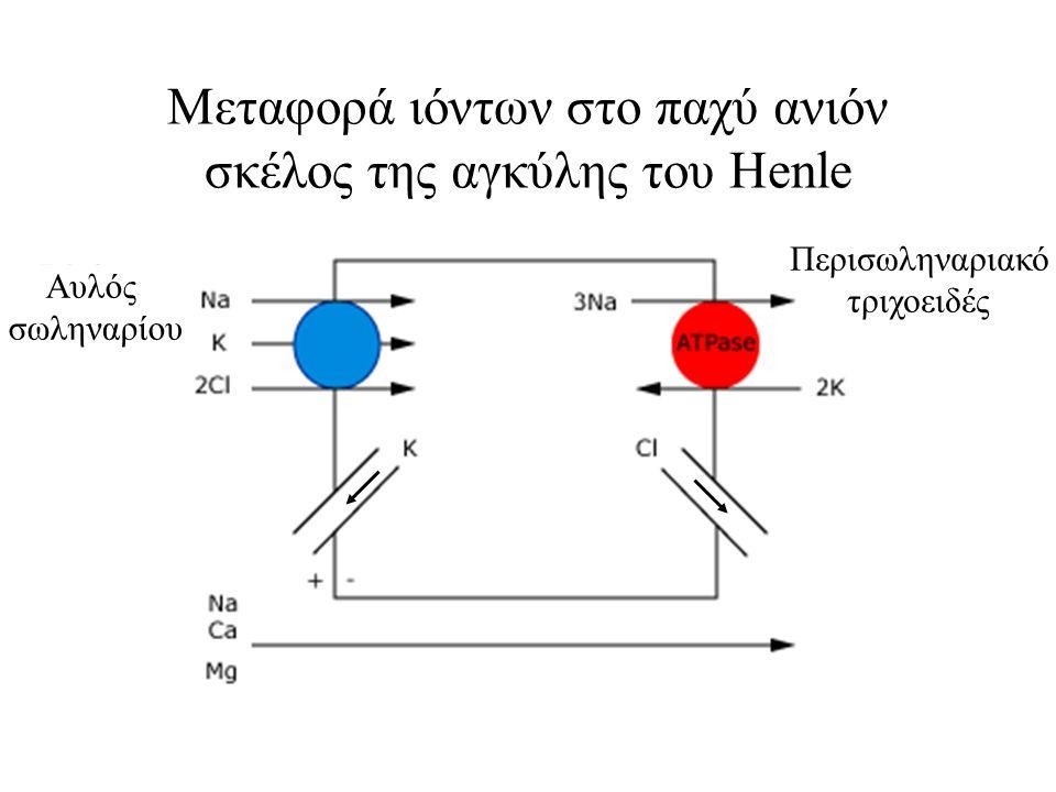 Μεταφορά ιόντων στo παχύ ανιόν σκέλος της αγκύλης του Henle Αυλός σωληναρίου Περισωληναριακό τριχοειδές