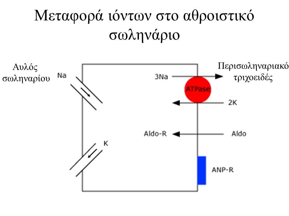 Μεταφορά ιόντων στο αθροιστικό σωληνάριο Αυλός σωληναρίου Περισωληναριακό τριχοειδές