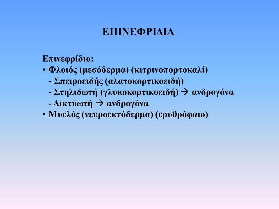 ΕΠΙΝΕΦΡΙΔΙΑ Επινεφρίδιο: Φλοιός (μεσόδερμα) (κιτρινοπορτοκαλί) - Σπειροειδής (αλατοκορτικοειδή) - Στηλιδωτή (γλυκοκορτικοειδή)  ανδρογόνα - Δικτυωτή