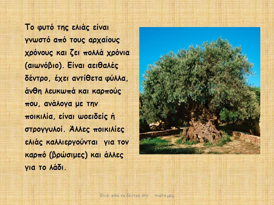 Tο φυτό της ελιάς είναι γνωστό από τους αρχαίους χρόνους και ζει πολλά χρόνια (αιωνόβιο).