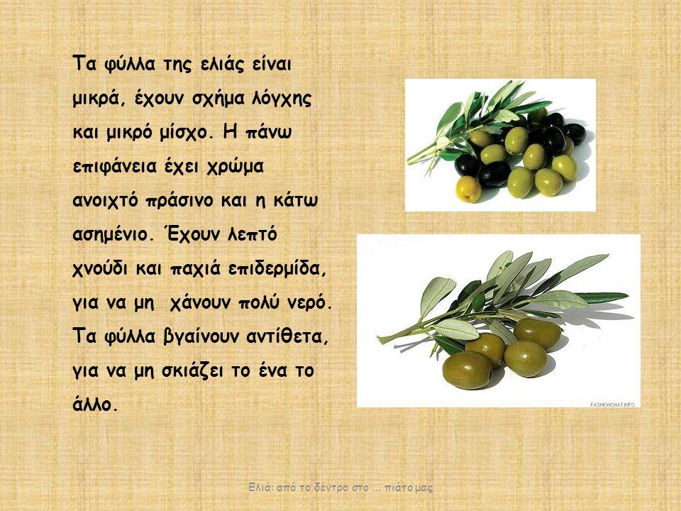 Τα φύλλα της ελιάς είναι μικρά, έχουν σχήμα λόγχης και μικρό μίσχο.