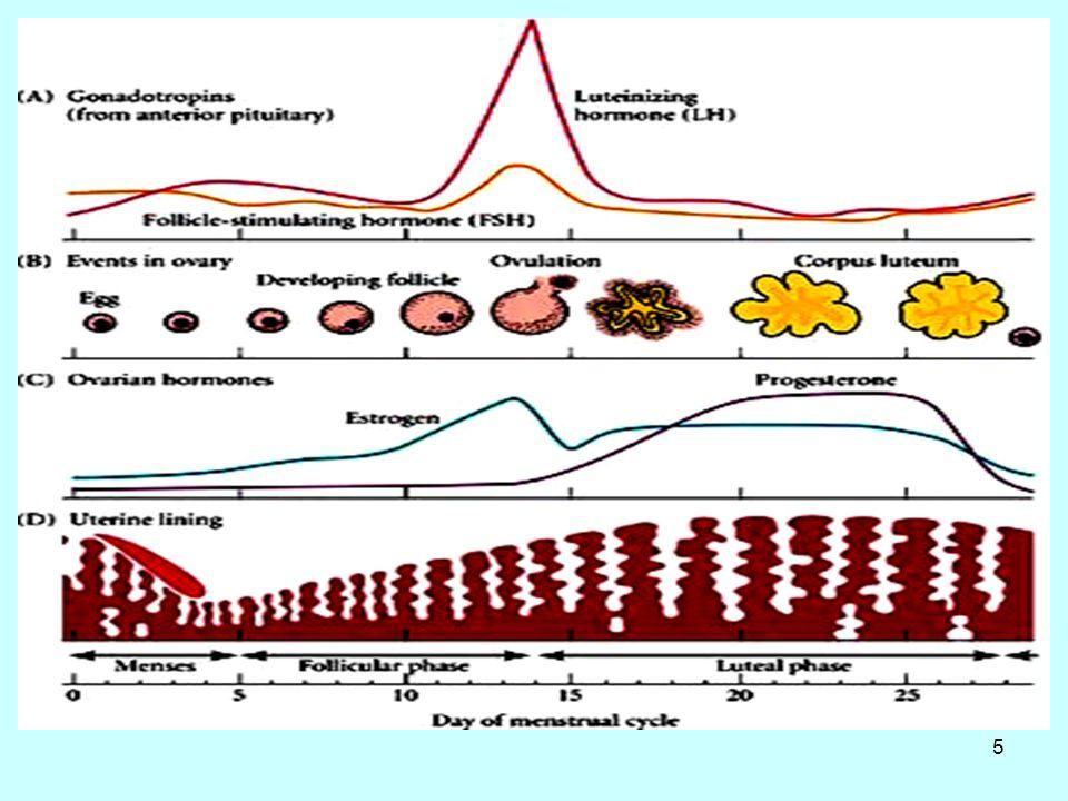 6 Ο βιορυθμός οιστρογόνων - προγεστερόνης