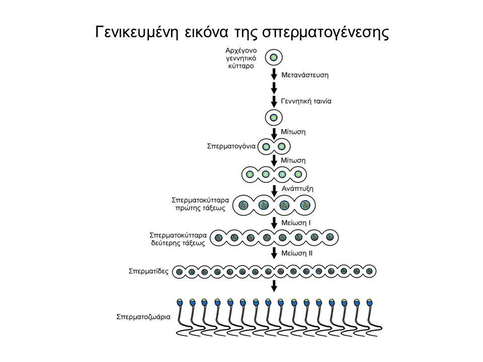 Σπερμιογένεση. Π=πυρήνας, Σ=συσκευή Golgi, Μ=μιτοχόνδριο, Α=ακροσωμάτιο, Μα=μαστίγιο