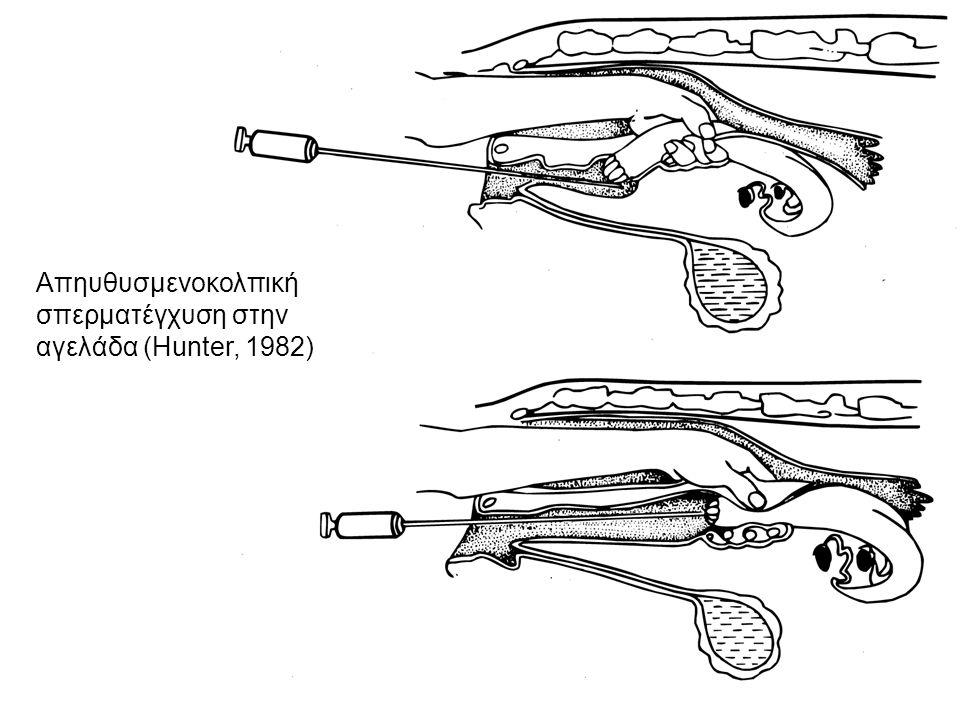 Απηυθυσμενοκολπική σπερματέγχυση στην αγελάδα (Hunter, 1982)