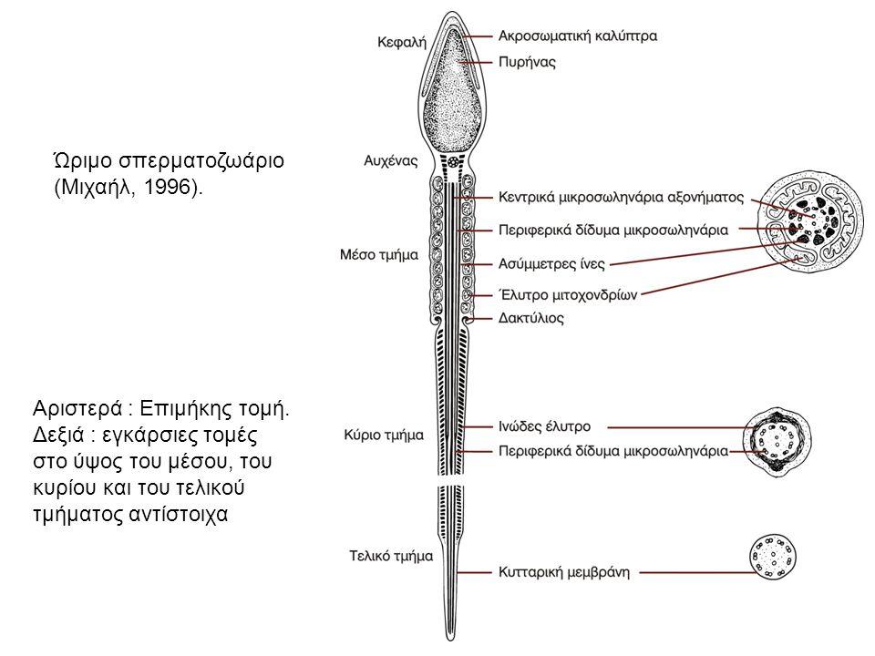 Ώριμο σπερματοζωάριο (Μιχαήλ, 1996). Αριστερά : Επιμήκης τομή. Δεξιά : εγκάρσιες τομές στο ύψος του μέσου, του κυρίου και του τελικού τμήματος αντίστο