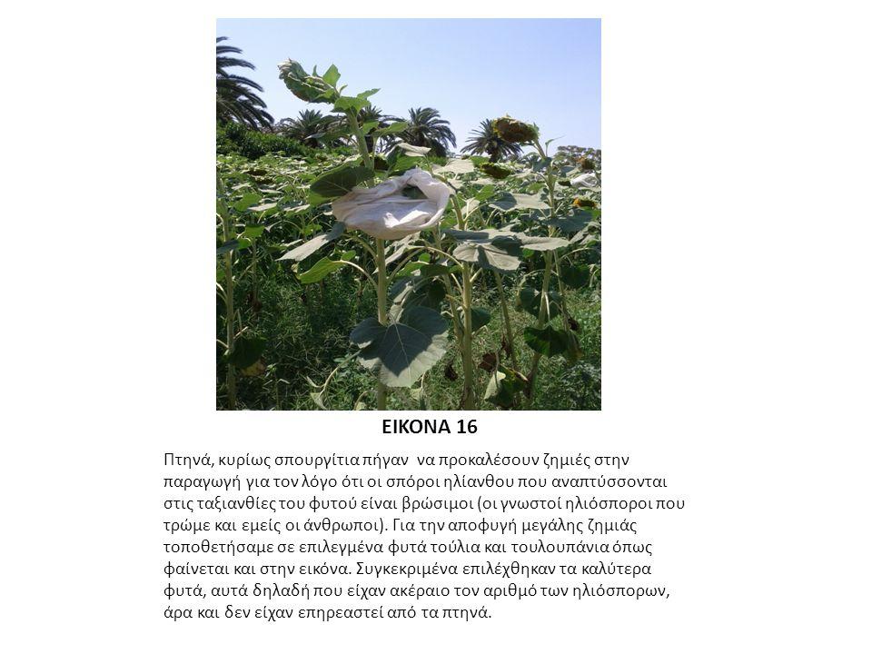 ΕΙΚΟΝΑ 16 Πτηνά, κυρίως σπουργίτια πήγαν να προκαλέσουν ζημιές στην παραγωγή για τον λόγο ότι οι σπόροι ηλίανθου που αναπτύσσονται στις ταξιανθίες του φυτού είναι βρώσιμοι (οι γνωστοί ηλιόσποροι που τρώμε και εμείς οι άνθρωποι).
