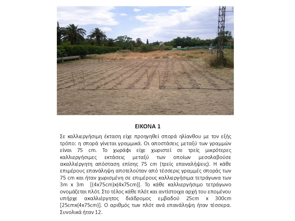 ΕΙΚΟΝΑ 1 Σε καλλιεργήσιμη έκταση είχε προηγηθεί σπορά ηλίανθου με τον εξής τρόπο: η σπορά γίνεται γραμμικά.