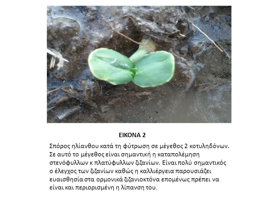ΕΙΚΟΝΑ 3 Όταν τα φυτά βρισκόντουσαν σε αυτό το μέγεθος, πριν δηλαδή τη δημιουργία ταξιανθίας, άρχισε η εφαρμογή της wet και dry μεταχείρισης όπως έχει αναφερθεί.