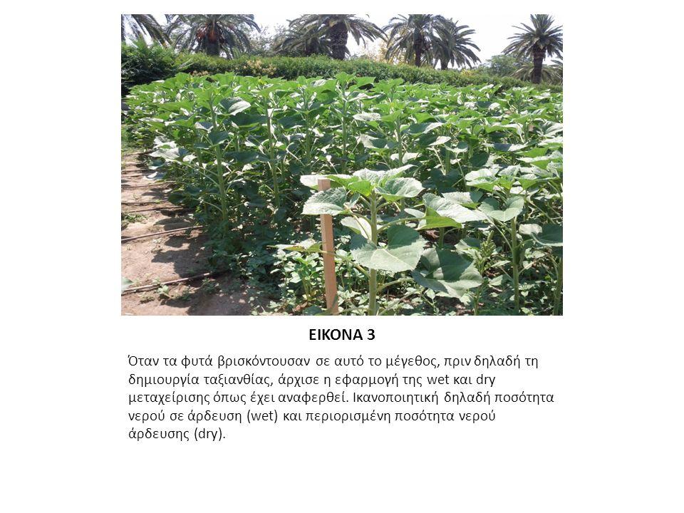 ΕΙΚΟΝΑ 4 Οι ταξιανθίες των ηλίανθων εμφανίστηκαν όταν το φυτό είχε ανάπτυξη περίπου κοντά στο 1,50m.