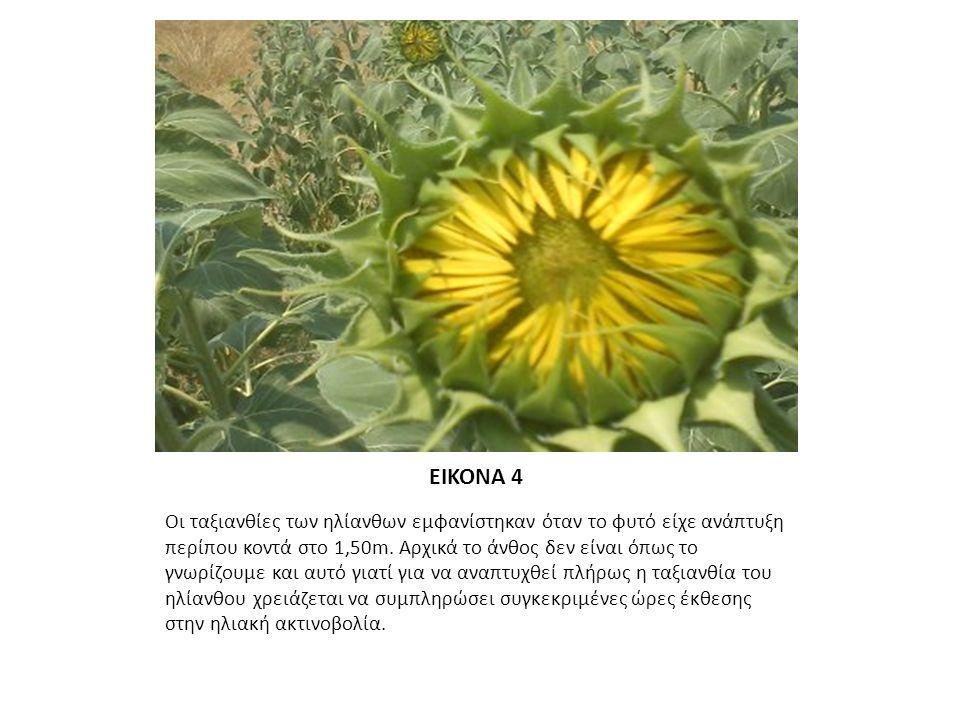 ΕΙΚΟΝΑ 5 Οι περισσότεροι ηλίανθοι είναι πλήρως ανθισμένοι και βρίσκονται πριν το επιθυμητό μέγεθος για την έναρξη της λήψης φυτικών δειγμάτων για μελέτη.