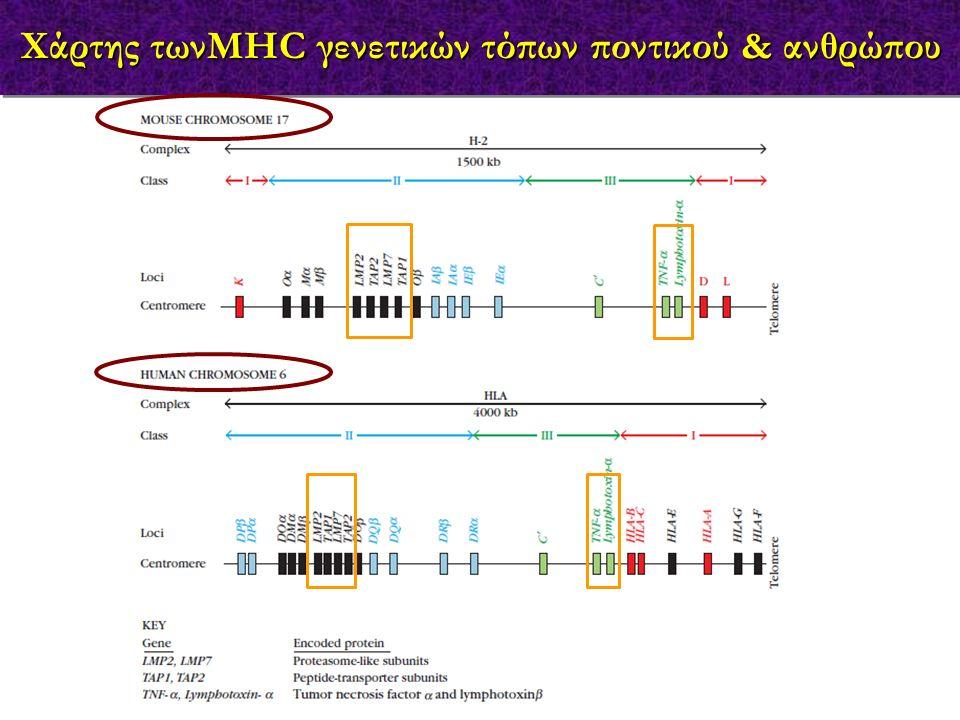 Χάρτης τωνMHC γενετικών τόπων ποντικού & ανθρώπου